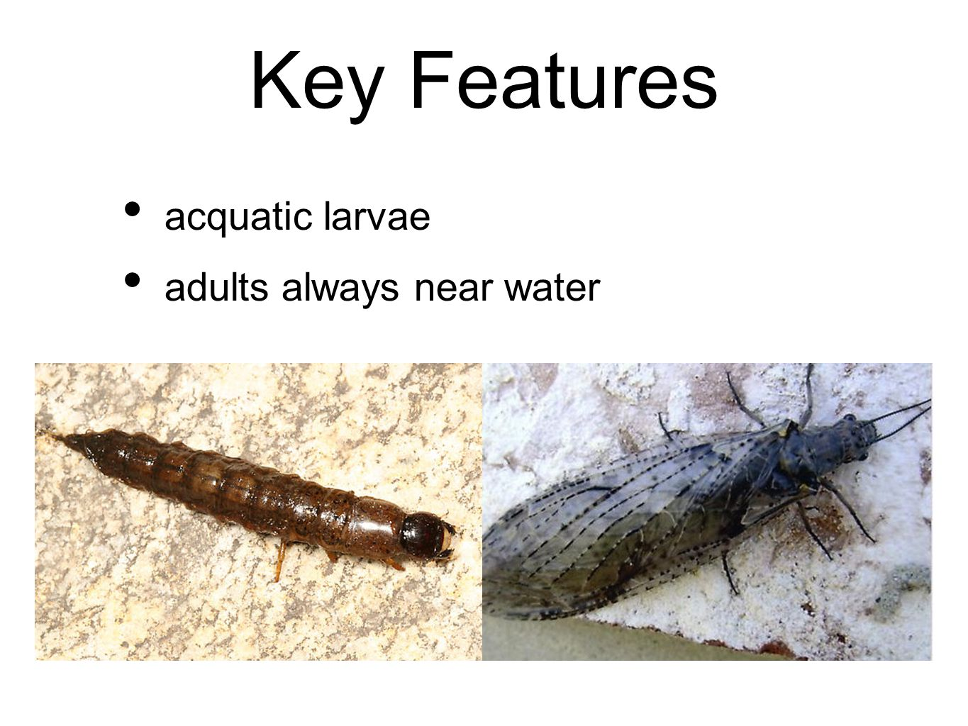 Key Features acquatic larvae adults always near water