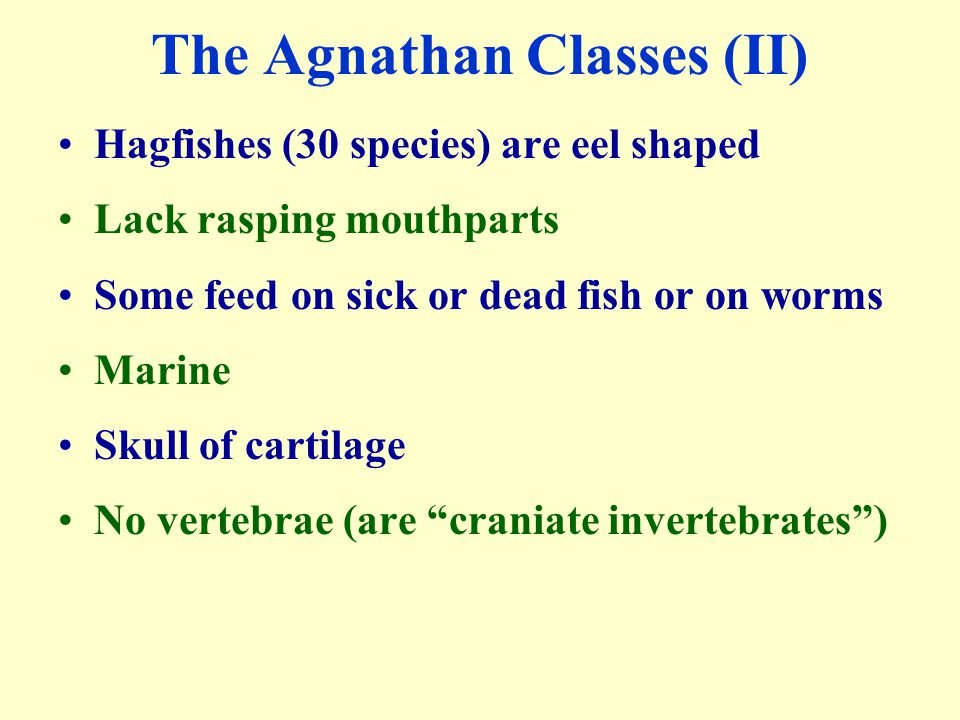 The Agnathan Classes (II) Hagfishes (30 species) are eel shaped Lack rasping mouthparts Some feed on sick or dead fish or on worms Marine Skull of car