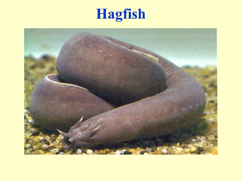 Hagfish