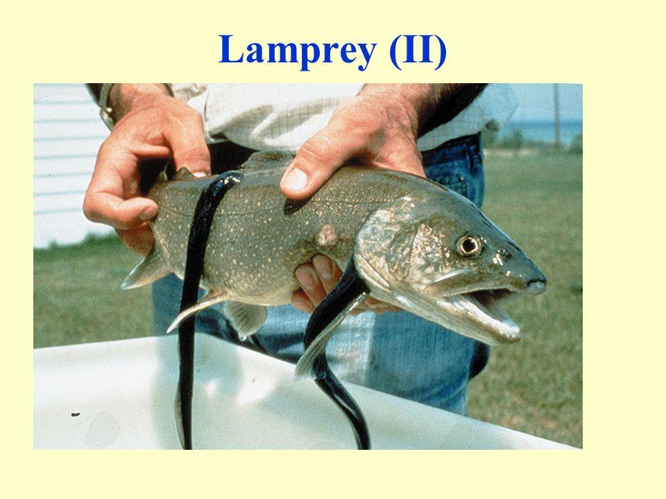 Lamprey (II)
