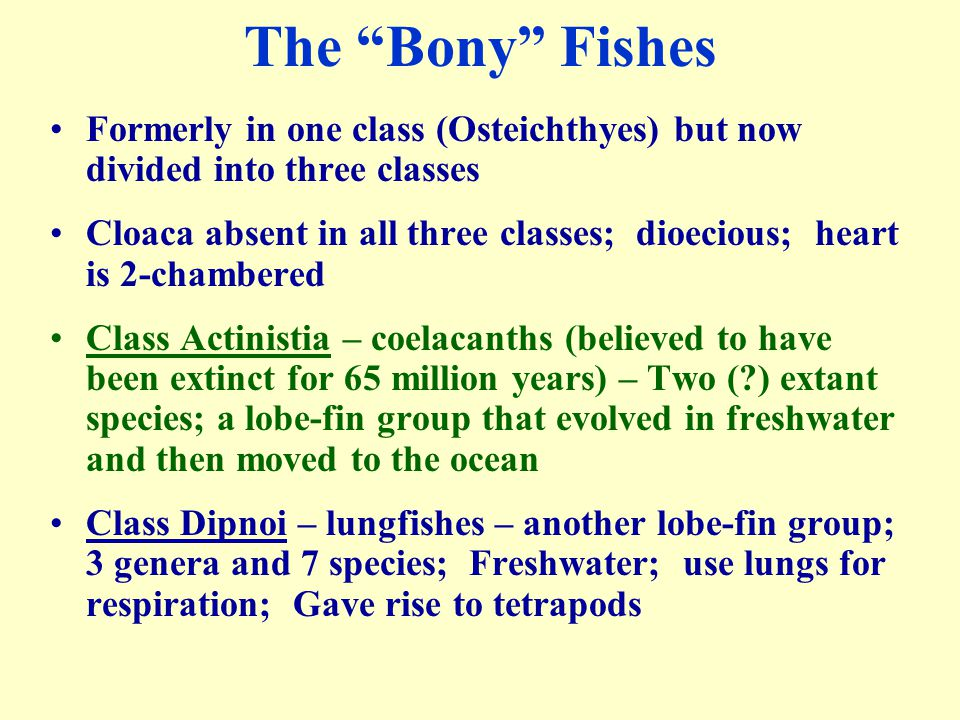 """The """"Bony"""" Fishes Formerly in one class (Osteichthyes) but now divided into three classes Cloaca absent in all three classes; dioecious; heart is 2-ch"""