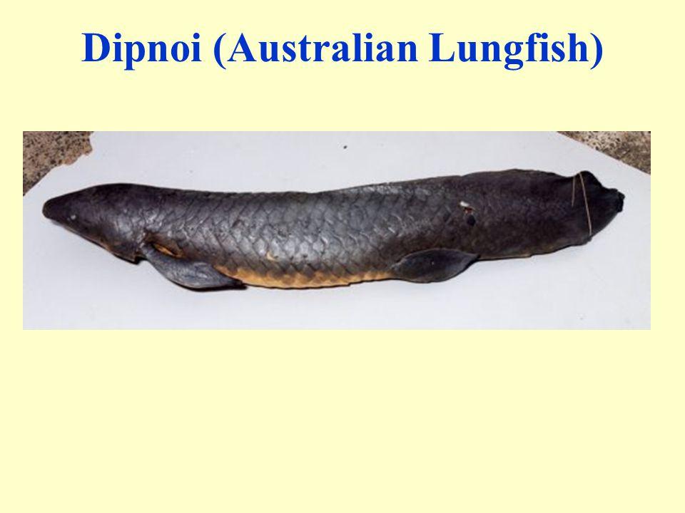 Dipnoi (Australian Lungfish)