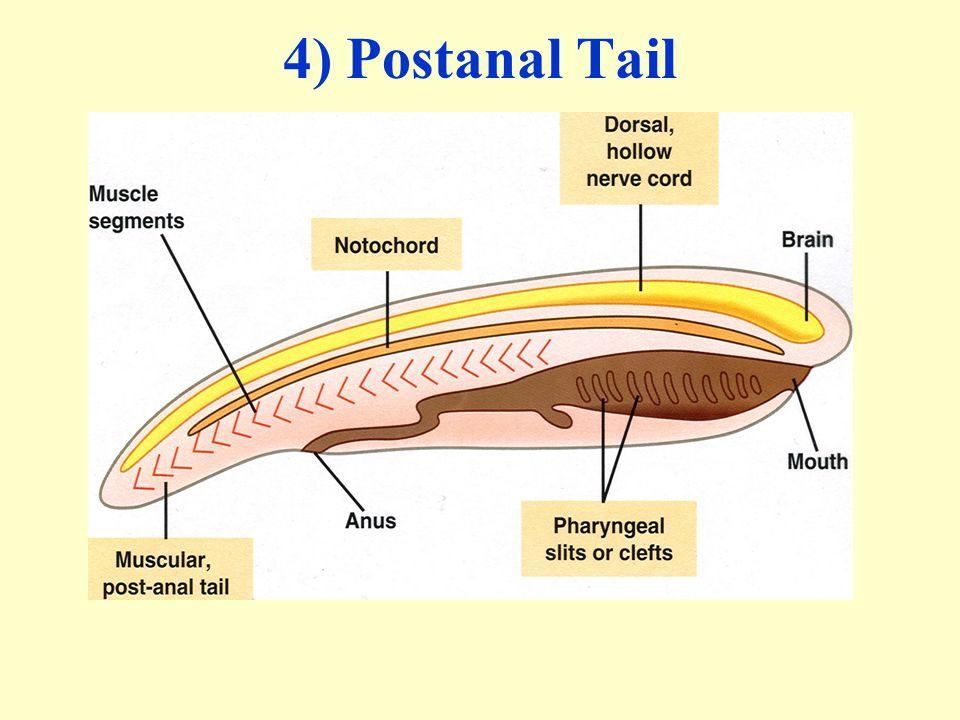 4) Postanal Tail