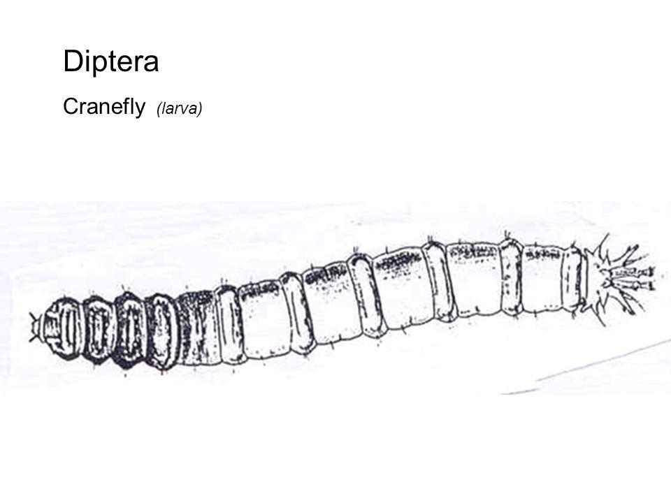 Diptera Midge (larva)