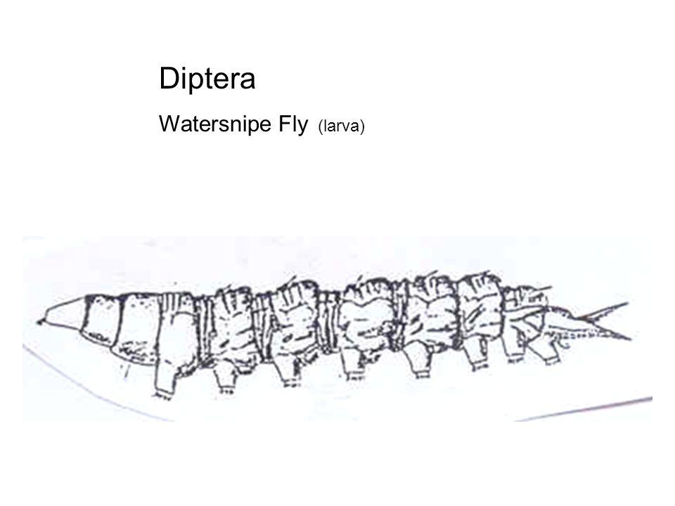 Diptera Mosquito (larva)
