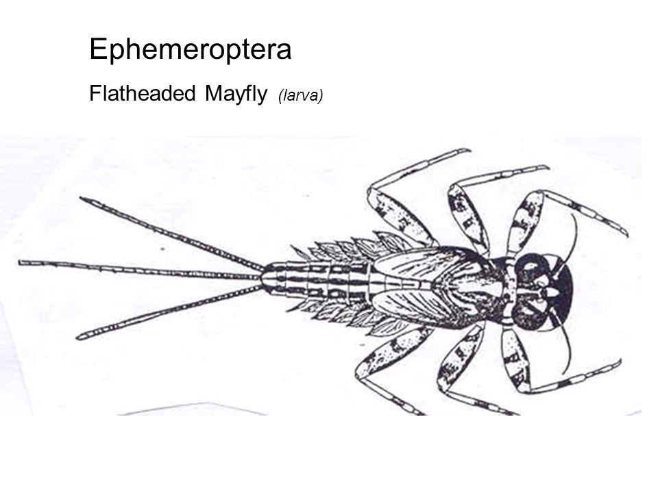 Ephemeroptera Spiny Crawler (mayfly larva)