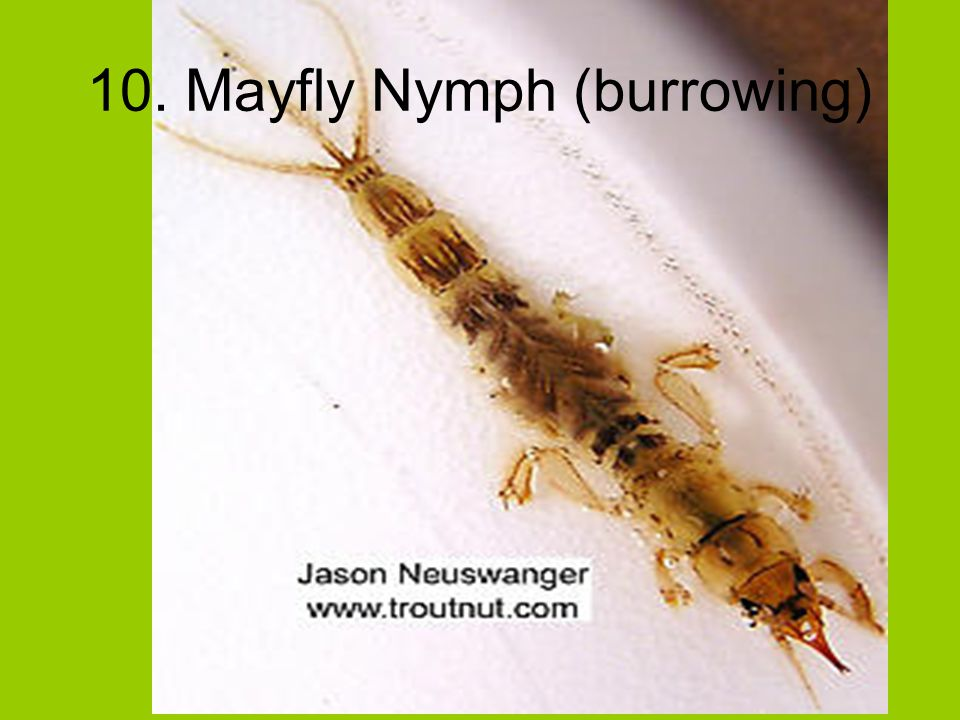 10. Mayfly Nymph (burrowing)