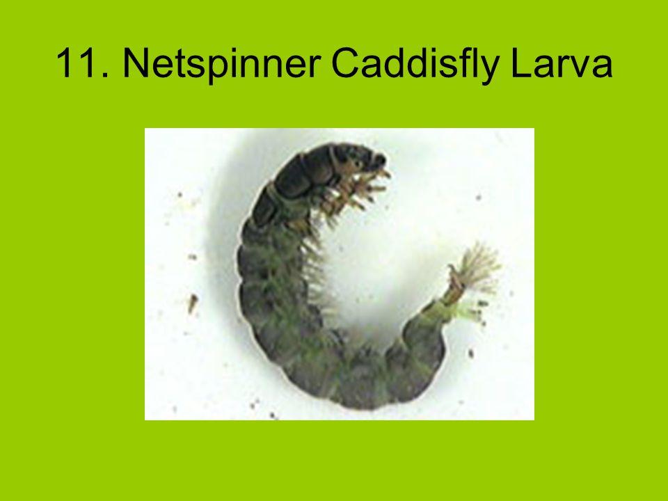11. Netspinner Caddisfly Larva