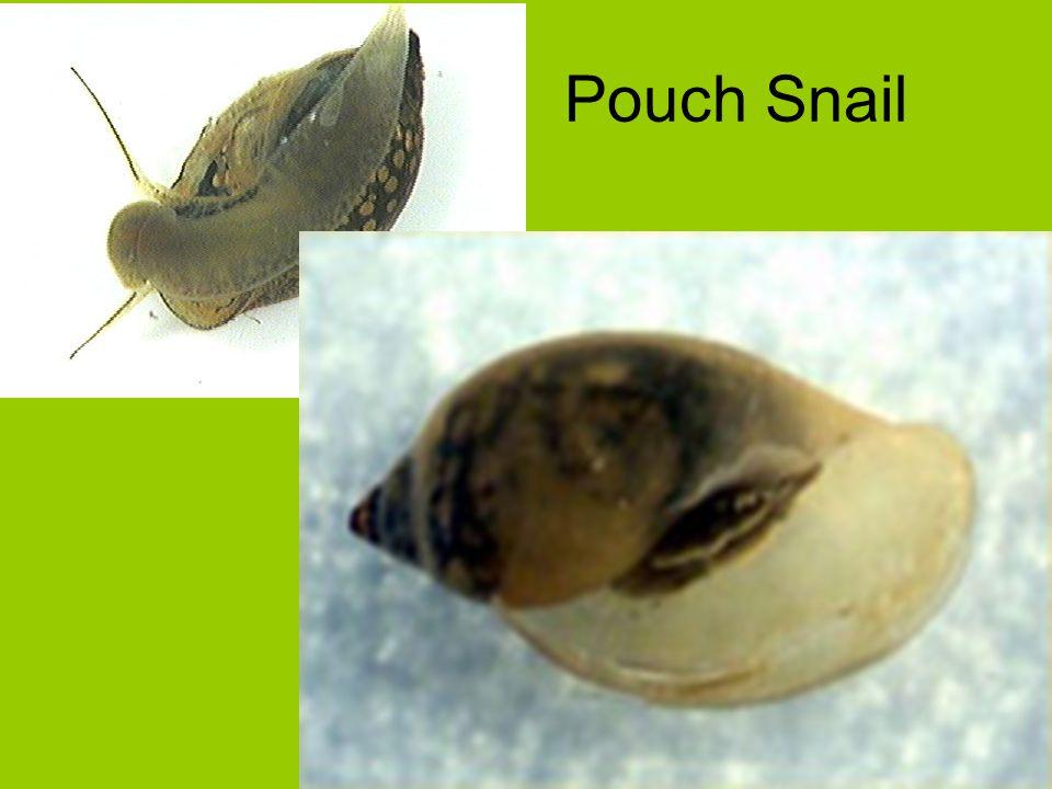 Pouch Snail