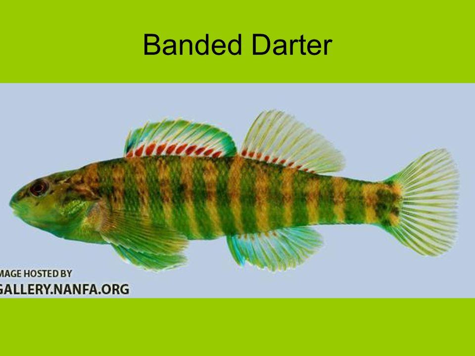 Banded Darter