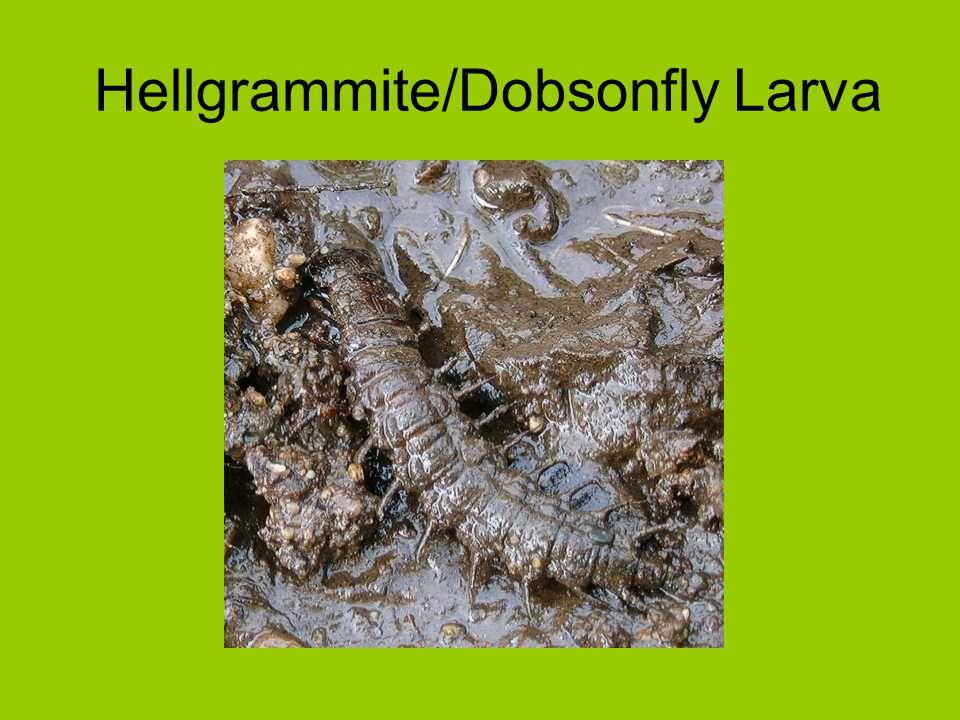 Hellgrammite/Dobsonfly Larva