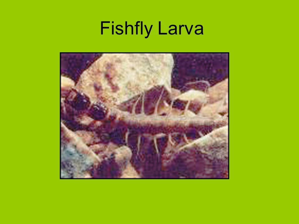 Fishfly Larva
