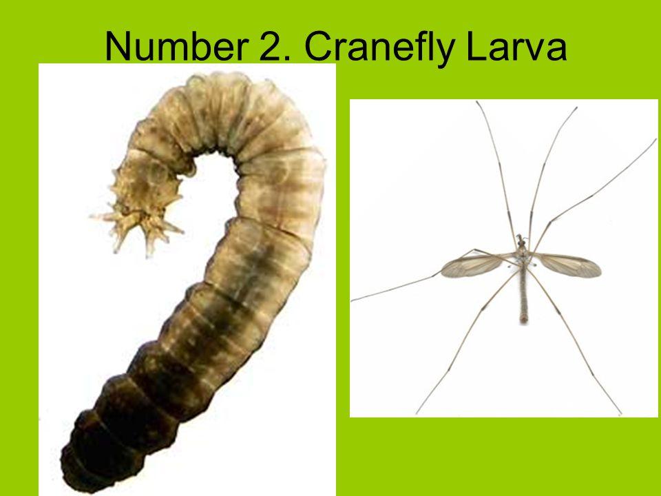 Number 2. Cranefly Larva