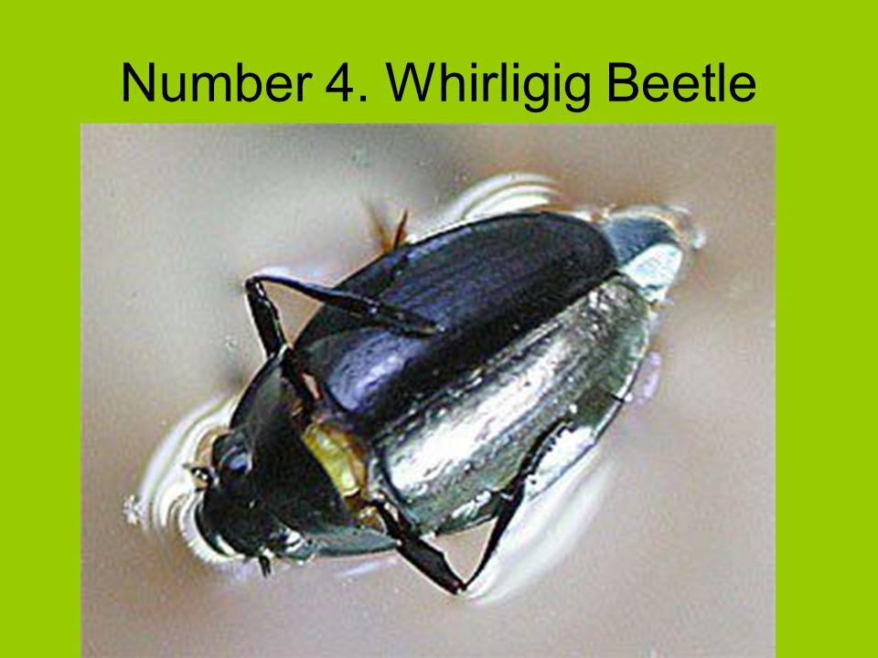 Number 4. Whirligig Beetle