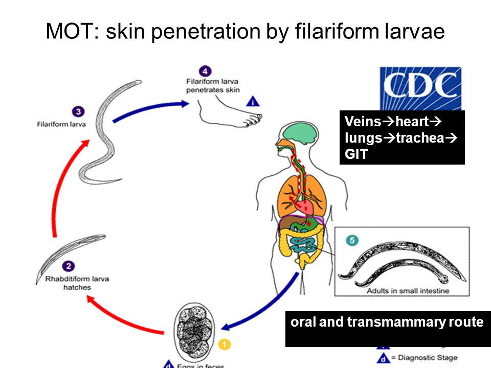 MOT: skin penetration by filariform larvae Veins  heart  lungs  trachea  GIT oral and transmammary route