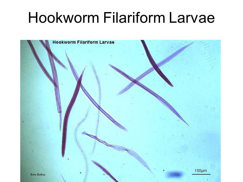 Hookworm Filariform Larvae