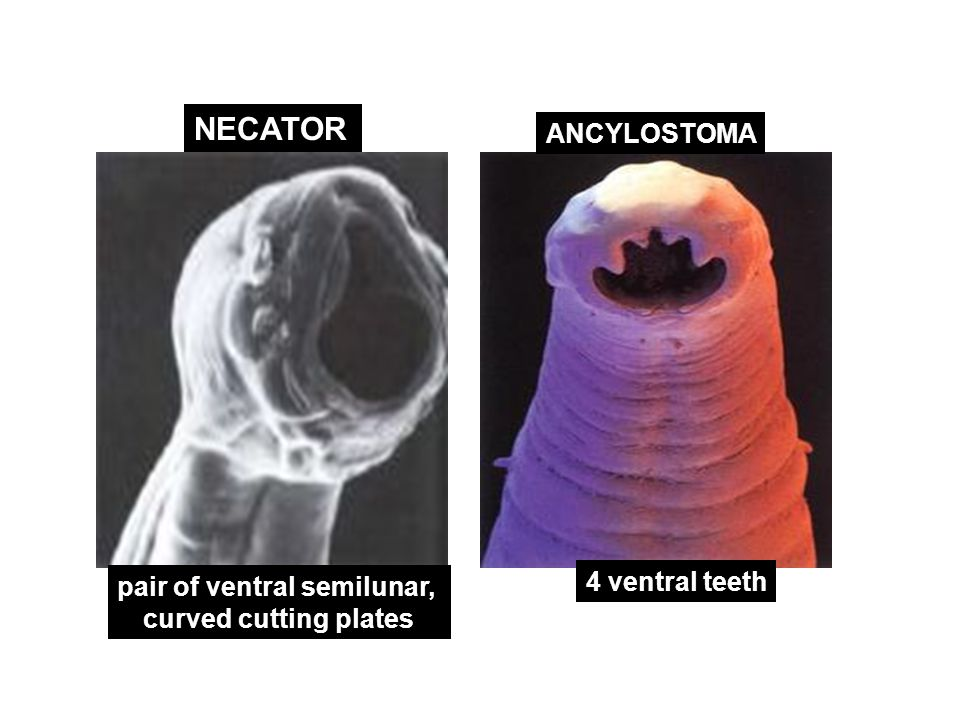 NECATOR ANCYLOSTOMA pair of ventral semilunar, curved cutting plates 4 ventral teeth