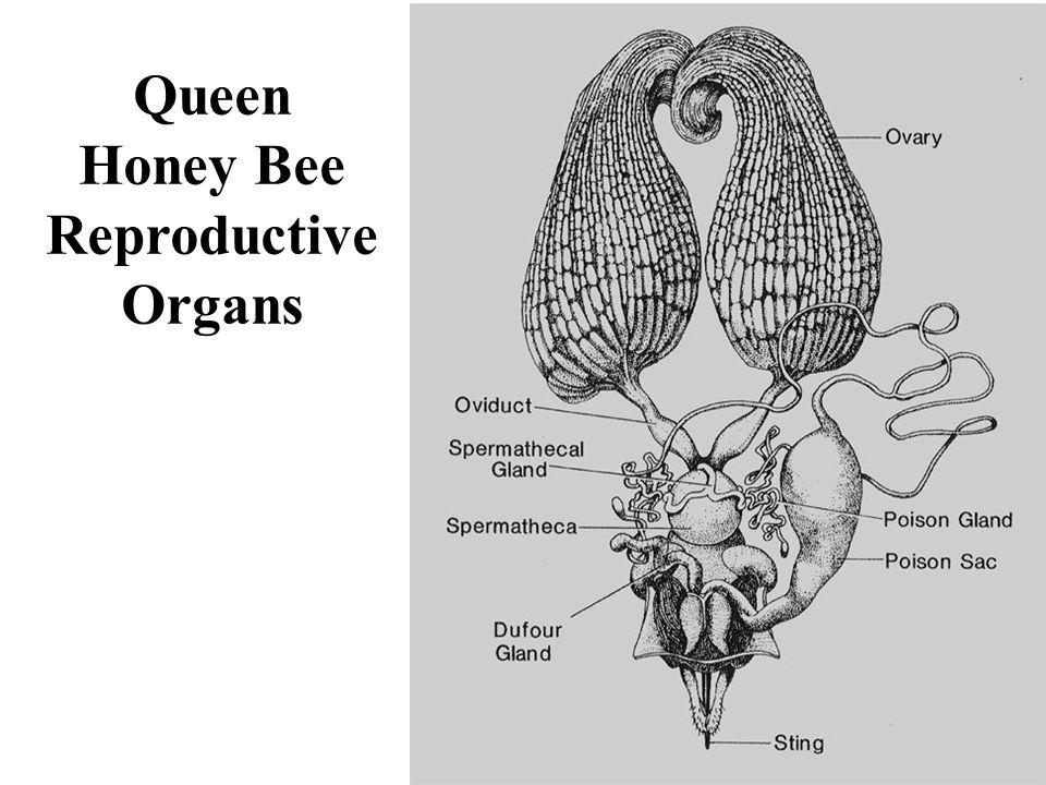 Queen Honey Bee Reproductive Organs