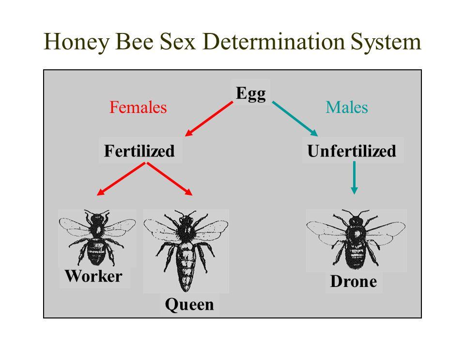 Honey Bee Sex Determination System Egg FertilizedUnfertilized Drone Worker Queen FemalesMales