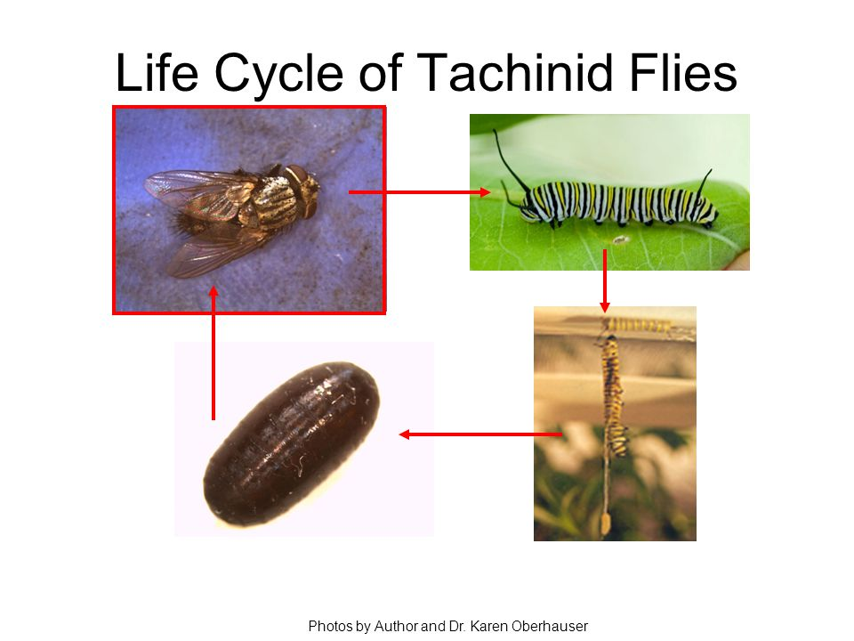 Life Cycle of Tachinid Flies Photos by Author and Dr. Karen Oberhauser