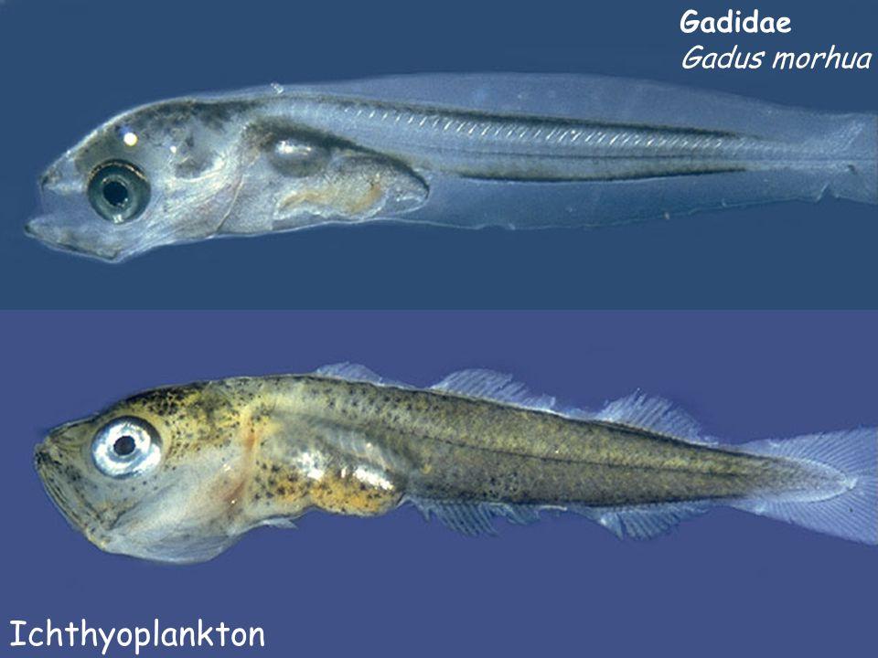Gadidae Gadus morhua Ichthyoplankton