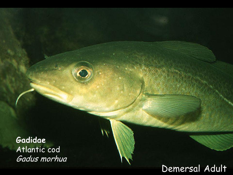 Gadidae Atlantic cod Gadus morhua Demersal Adult