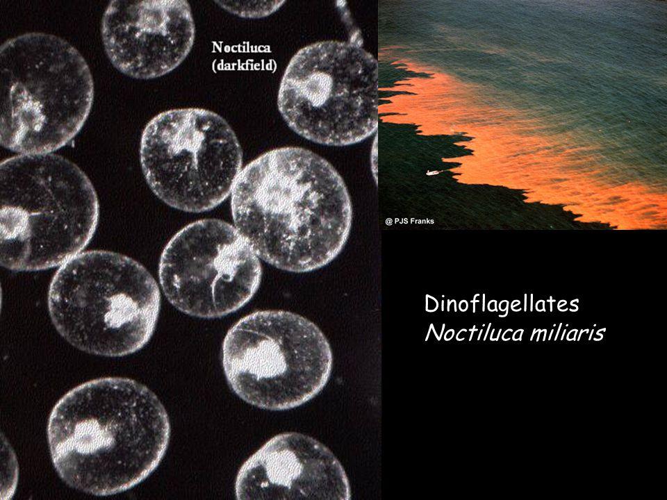 Dinoflagellates Noctiluca miliaris