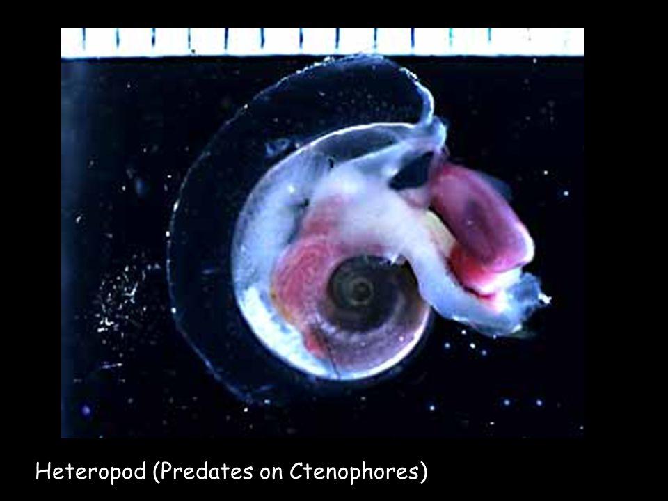 Heteropod (Predates on Ctenophores)
