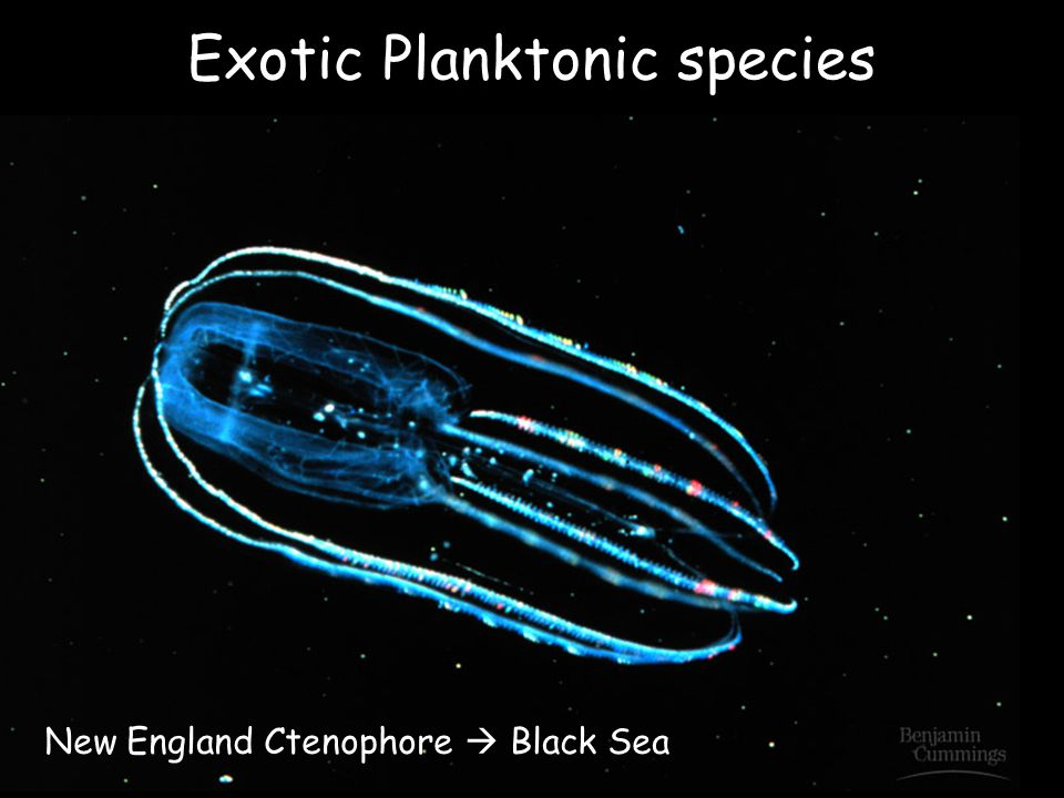 Exotic Planktonic species New England Ctenophore  Black Sea
