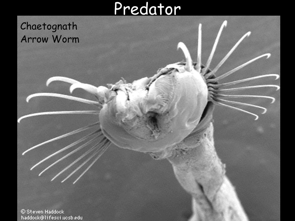 Predator Chaetognath Arrow Worm