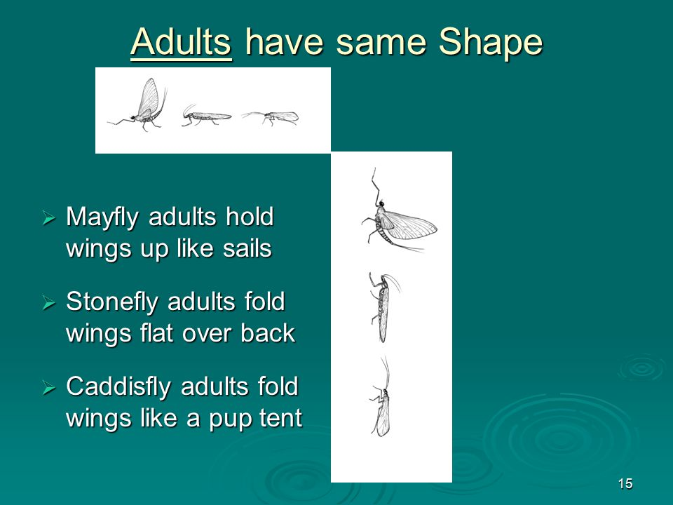 15 Adults have same Shape  Mayfly adults hold wings up like sails  Stonefly adults fold wings flat over back  Caddisfly adults fold wings like a pu