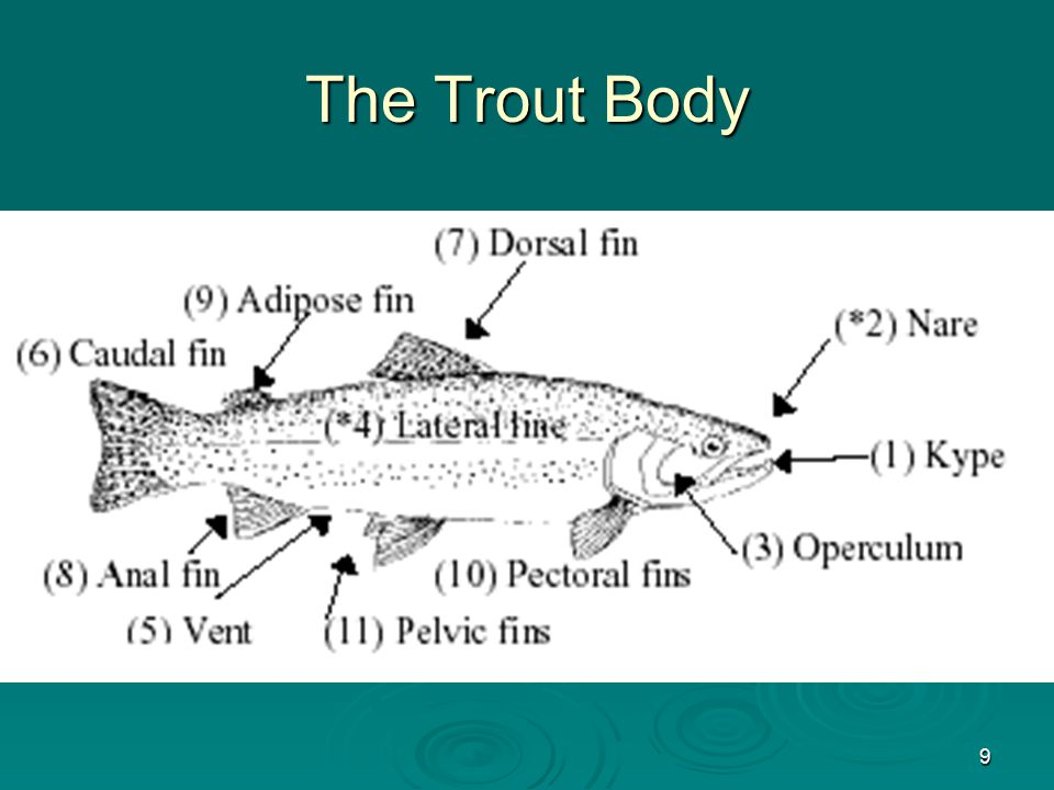 9 The Trout Body