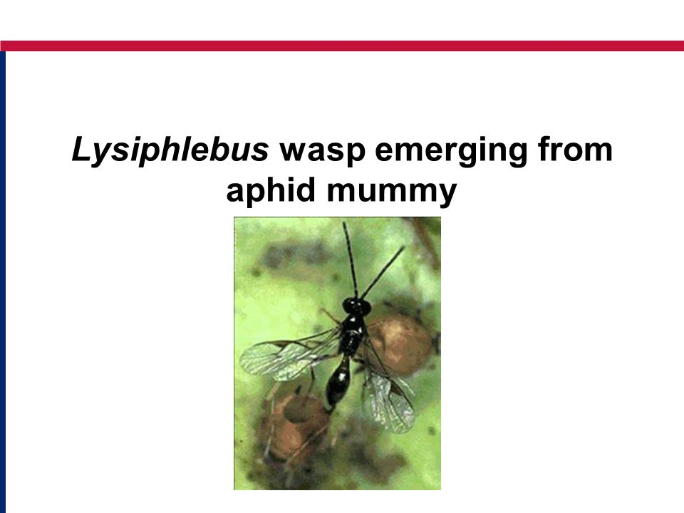 Lysiphlebus wasp emerging from aphid mummy