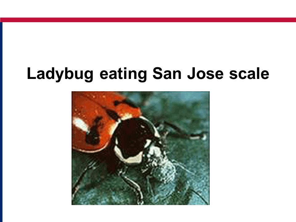 Ladybug eating San Jose scale