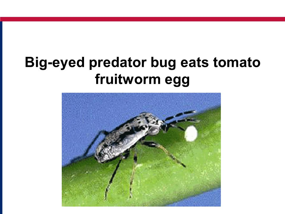 Big-eyed predator bug eats tomato fruitworm egg