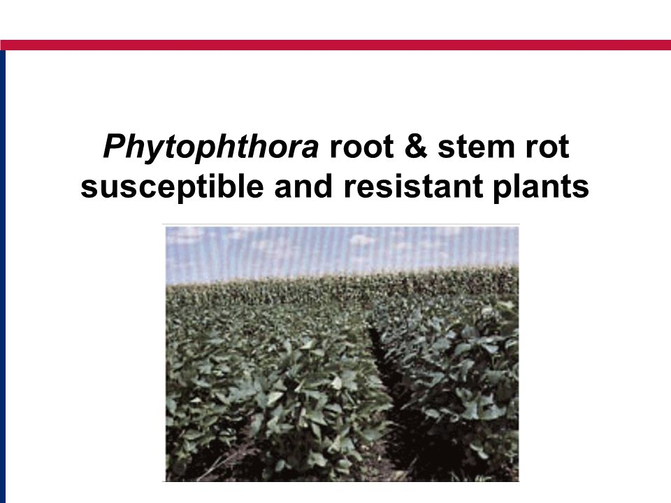 Phytophthora root & stem rot susceptible and resistant plants