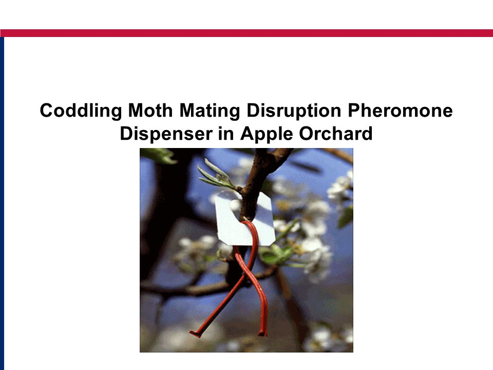 Coddling Moth Mating Disruption Pheromone Dispenser in Apple Orchard