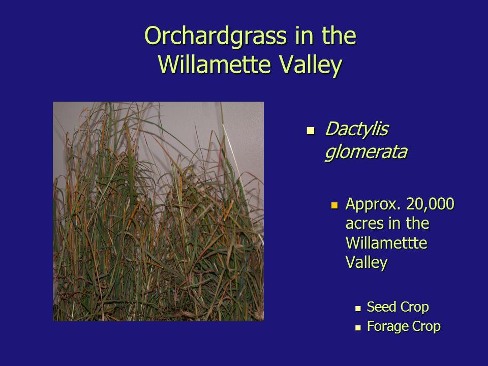 Orchardgrass in the Willamette Valley Dactylis glomerata Dactylis glomerata Approx.
