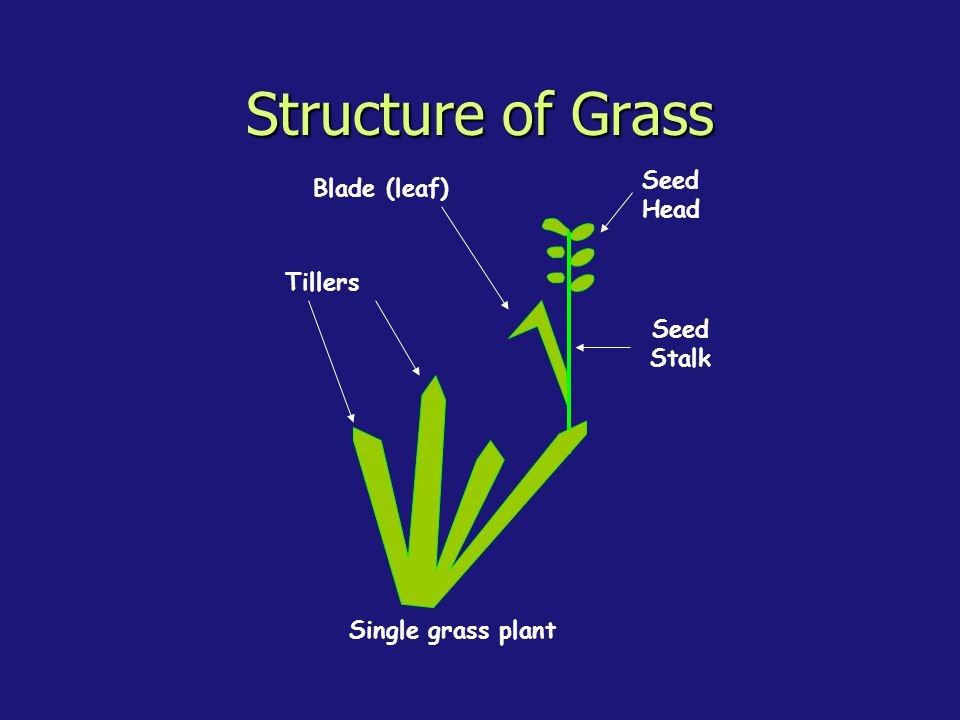 Structure of Grass Single grass plant Seed Stalk Tillers Blade (leaf) Seed Head