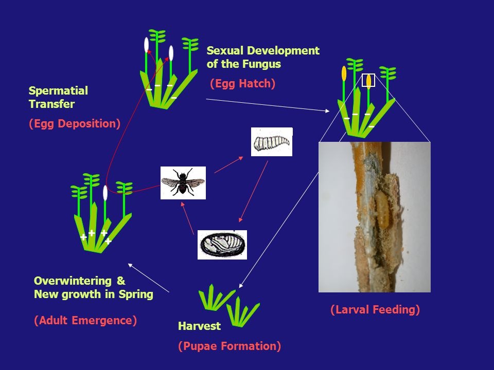 + ++ + -- - - -- - - Spermatial Transfer (Egg Deposition) Sexual Development of the Fungus (Egg Hatch) (Larval Feeding) Harvest (Pupae Formation) Overwintering & New growth in Spring (Adult Emergence)