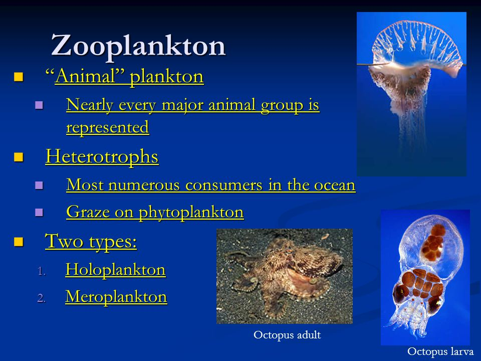 Zooplankton Animal plankton Animal plankton Nearly every major animal group is represented Nearly every major animal group is represented Heterotrophs Heterotrophs Most numerous consumers in the ocean Most numerous consumers in the ocean Graze on phytoplankton Graze on phytoplankton Two types: Two types: 1.