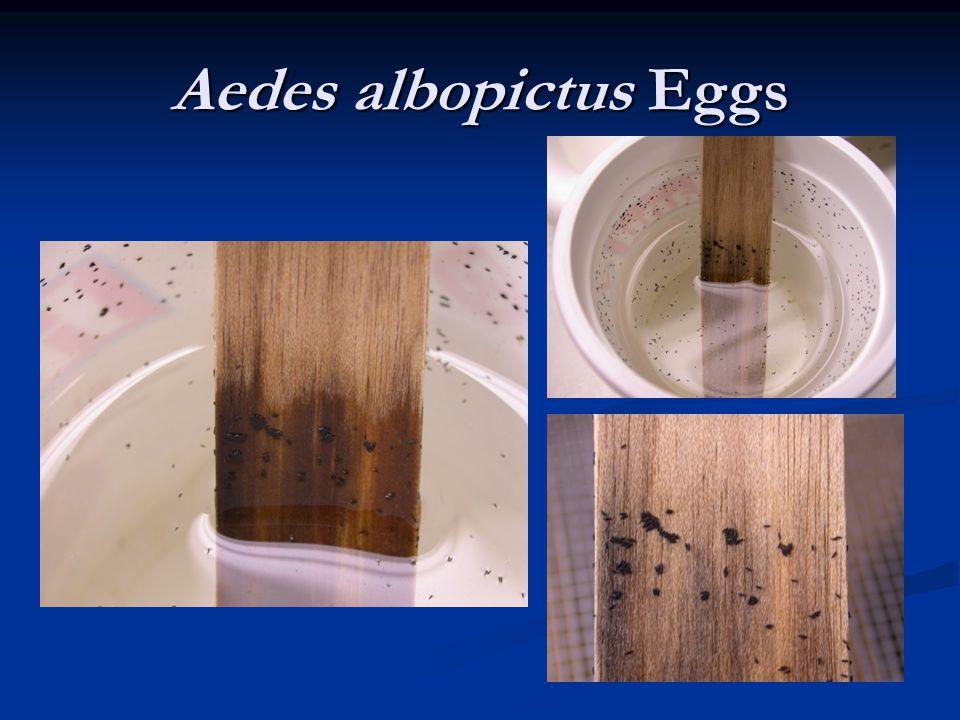 Aedes albopictus Eggs