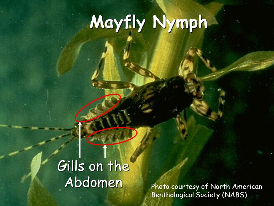 Mayfly Nymph Gills on the Abdomen Photo courtesy of North American Benthological Society (NABS)