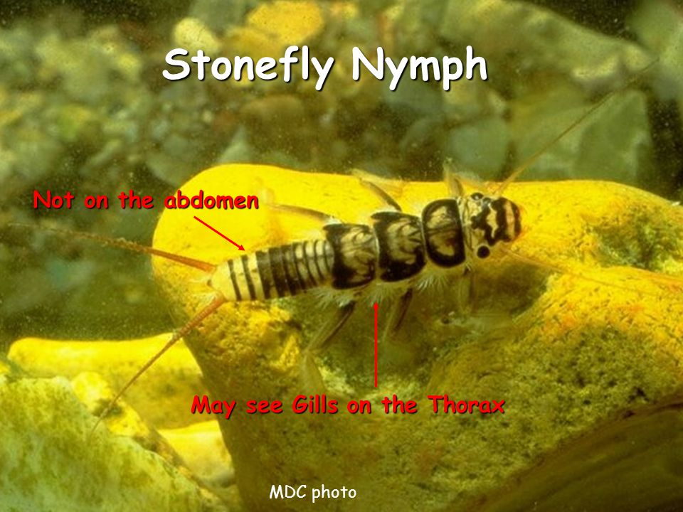 Stonefly Nymph May see Gills on the Thorax Not on the abdomen MDC photo