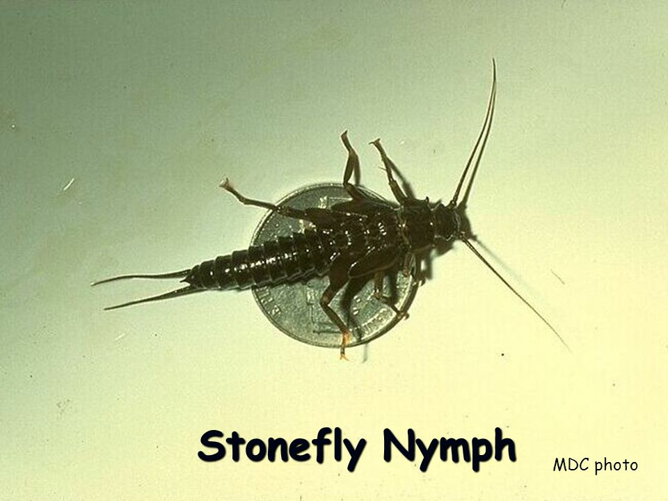Stonefly Nymph MDC photo