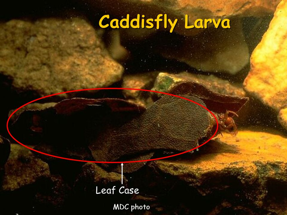 Caddisfly Larva Leaf Case MDC photo