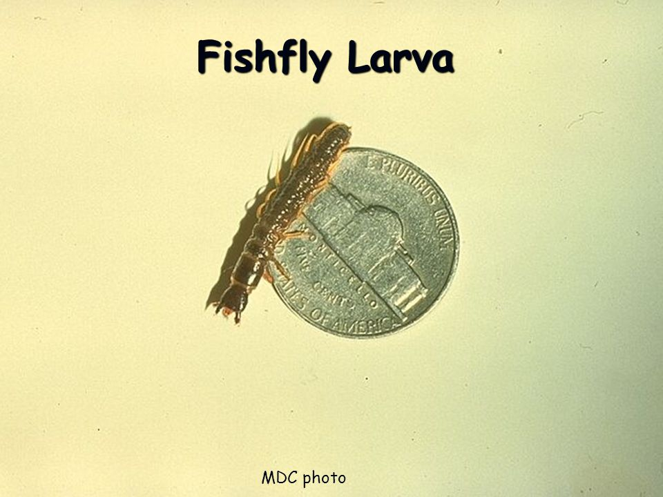 Fishfly Larva MDC photo