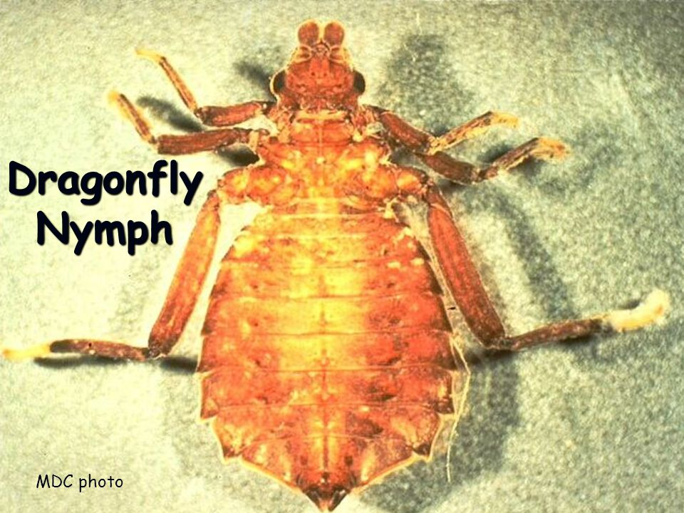 DragonflyNymph