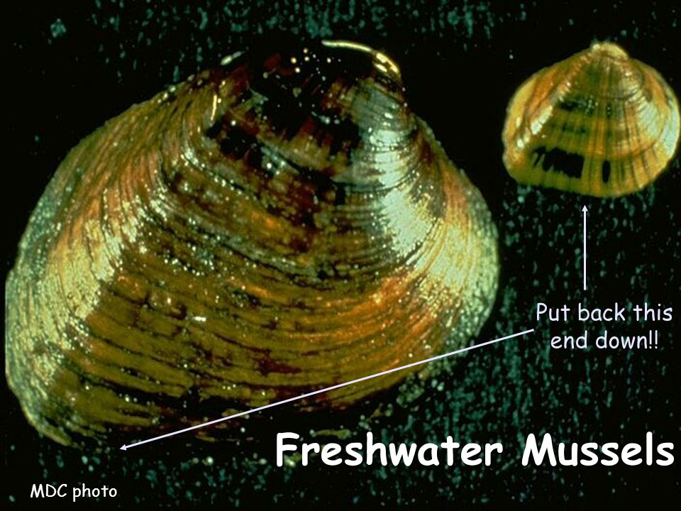 Freshwater Mussels Put back this end down!! MDC photo