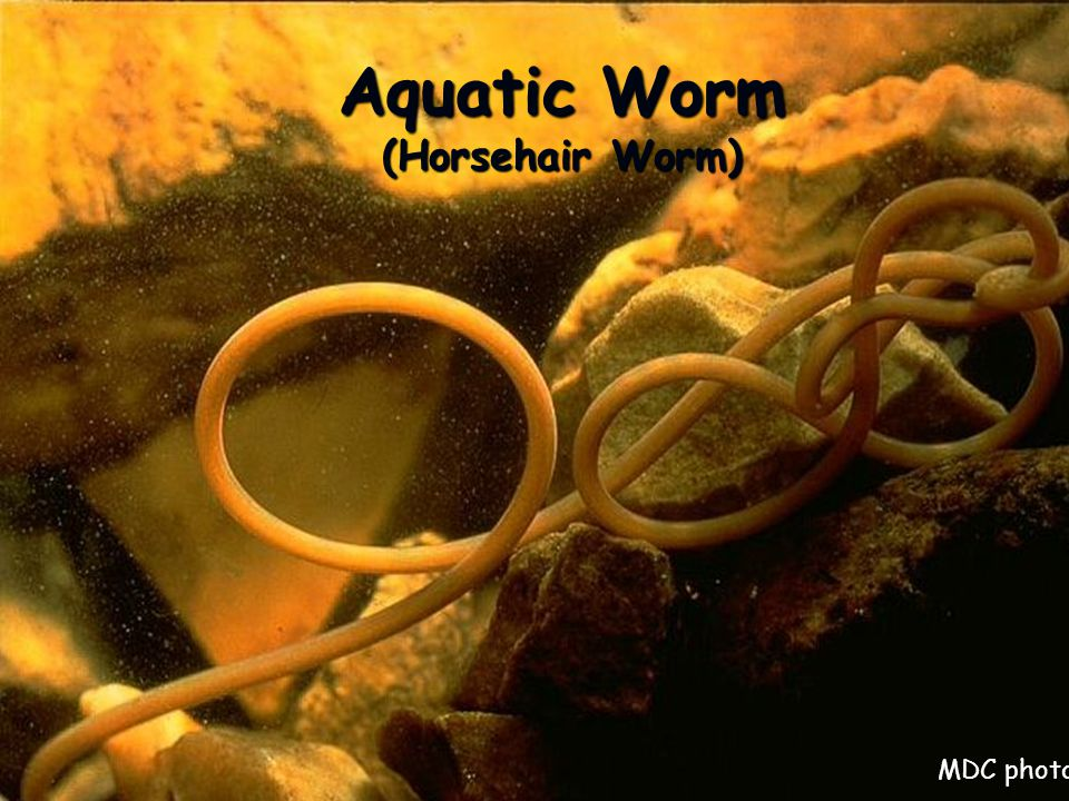 Aquatic Worm (Horsehair Worm) MDC photo